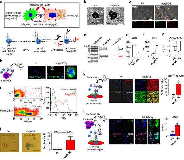MagBICE纳米颗粒生产和体外结合性质 虽然干细胞可能是对抗某些疾病的有力武器,但是简单的用干细胞注入患者体内,不能保证干细胞将能够到达受损部位,并与已经存在于那里的细胞协同合作。 为了将能治愈的干细胞有针对性地传递到受伤部位,美国洛杉矶Cedars-Sinai心脏研究所的研究人员用两种抗体包覆铁纳米粒子,这两种抗体能够识别并特异性结合干细胞,并特异性结合体内的受损细胞。当纳米粒子注入到血液之后,它们成功地追踪到创伤部分并开始治疗。 该研究小组负责人、Cedars-Sinai 心脏研究所主任Eduar